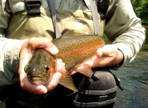 trout from clinch river