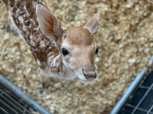 Baby Deer at Little Ponderosa Zoo in Anderson County, Tennessee